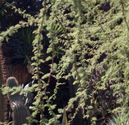 Acacia caven 5871533565_92a0c816ae_o