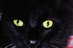 nose, animal, small to medium-sized cats, pet, black cat, bombay, close-up, cat, carnivoran, whiskers, black, domestic short-haired cat,