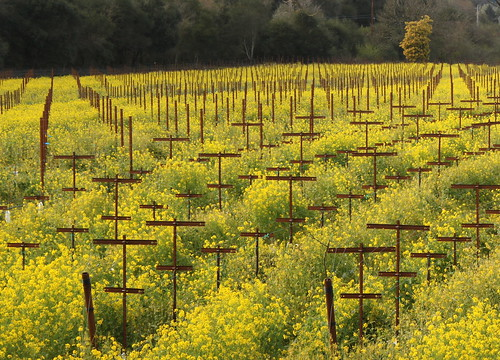 flower field yellow rural canon vineyard spring rust row bloom mustard agriculture viticulture grapetrellis t1i