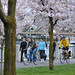 Cherry blossoms in Waterfront Park-5-4