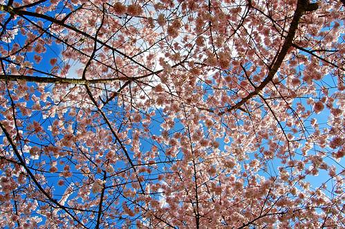 flowers flower tree oregon cherry view 桜 sakura salem viewing hanami 花見 edmundgarman