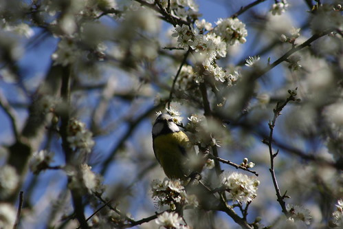 Blue tit in white