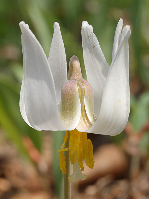 Silver Lake Park, in Highland, Illinois, USA - Erythronium albidum wildflower