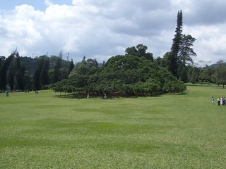 largest ficus benjamina, Kandy, Sri Lanka