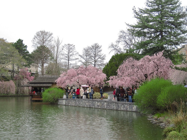 Hanami in the Japanese Hill-and-Pond Garden. Photo by Rebecca Bullene.