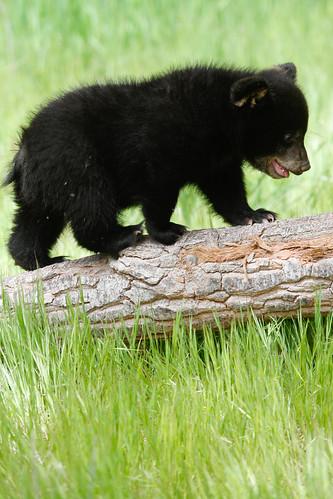 Baby Black Bear - photo#29
