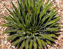 desert_botanical-34