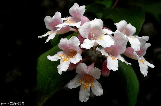 DSCN5890 Le fauci (Dipelta floribunda)