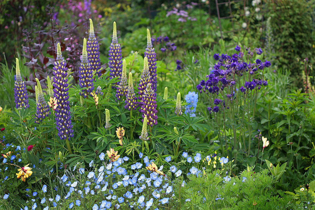 Lupinus 'Thomas Church' in the garden
