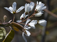 Smooth Serviceberry (Amelanchier laevis)
