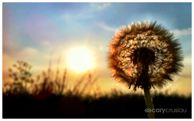 Dandelion In The Sunset