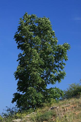 Sole tree