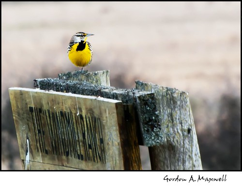 birds places e3 meadowlark carden 2011pictures