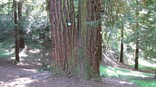 sequoie nostrane