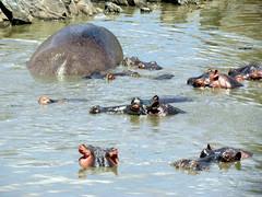 Hippos - Hippopotamus = Serengeti National Park safari - Tanzania, Africa