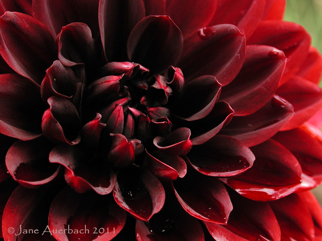 good karma (Dahlia 'Karma Chocolate')