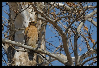 BLC_1161-AG-F - Red-shouldered Hawk