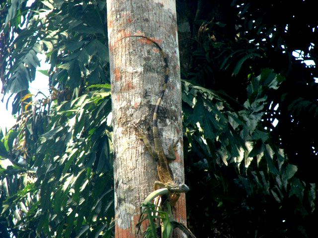 Iguana-at-lasy