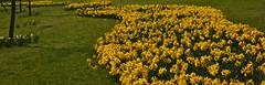 Daffodil Snake