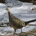 Small photo of Pleasant Pheasant