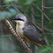 Mangrove Cuckoo by mostevens