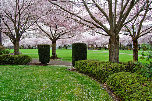 park pink flowers trees flower tree green oregon cherry photography view blossom branches blossoms april 桜 sakura salem blooms viewing hanami willamette 花見 willamettevalley d40 salemoregon edmundgarman