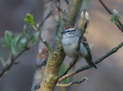 Chipping Sparrow, Armstrong Twp. Indiana Co., PA