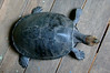 "<a href=""http://www.flickr.com/photos/cdtimm/5625560983/"">Photo of Podocnemis unifilis by Cláudio Dias Timm</a>"