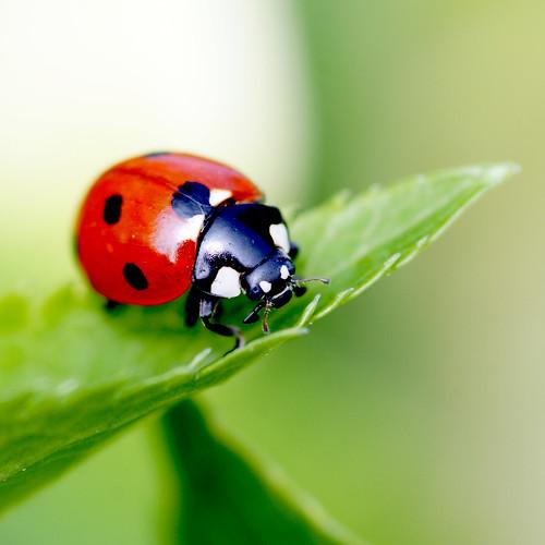 ladybird by Bearseye