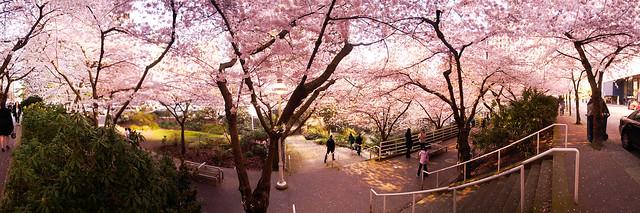 cherry_panorama