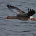 Grágæs (Anser anser) - Greylag Goose