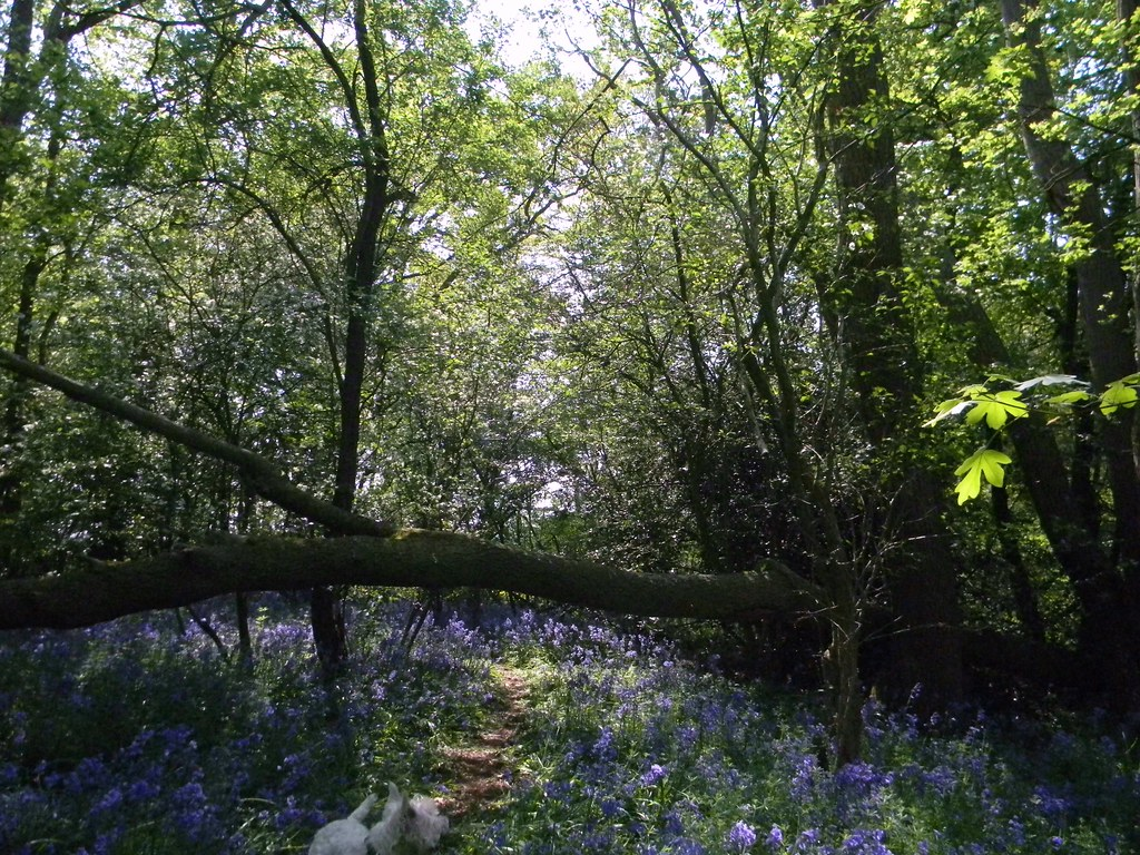 Bluebells log and dog Staplehurst to Headcorn