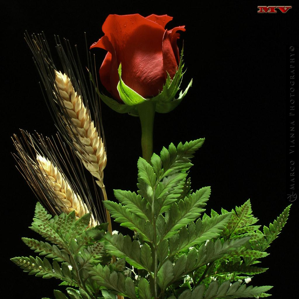 Una Rosa Para Ti De La Serie Andromeda 50 1000 Flickr