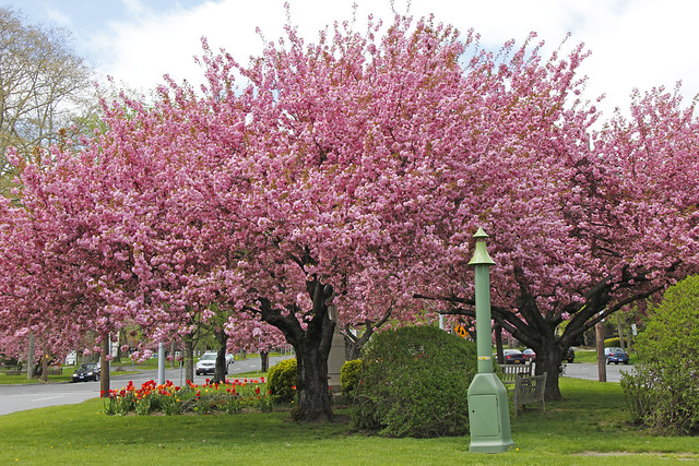Pink cherry blossom tree on north broadway in white plains new york