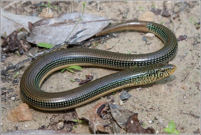 Glass lizard - Wikipedia