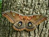 Saturniidae : Antheraea polyphemus - female Polyphemus Moth by William Tanneberger