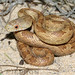 Yellow Rat Snake - Photo (c) Todd Pierson, some rights reserved (CC BY-NC-SA)