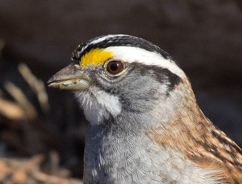 White-throated Sparrow detail