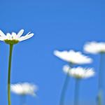 daisy (Explored)