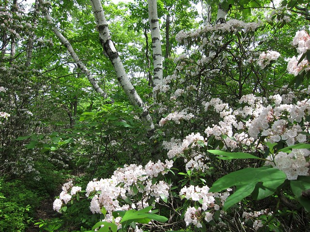 Mountain laurel and birches