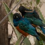 Superb Starling Birds - Serengeti, Tanzania
