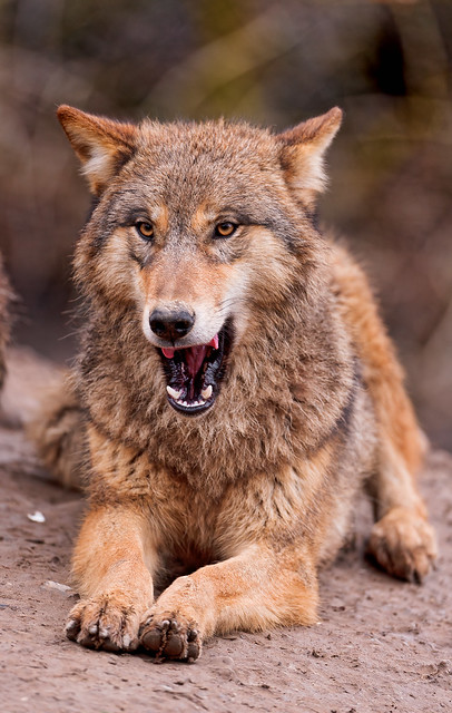 Lying wolf with open mouth | After a few days away, I post ...  Lying wolf with...