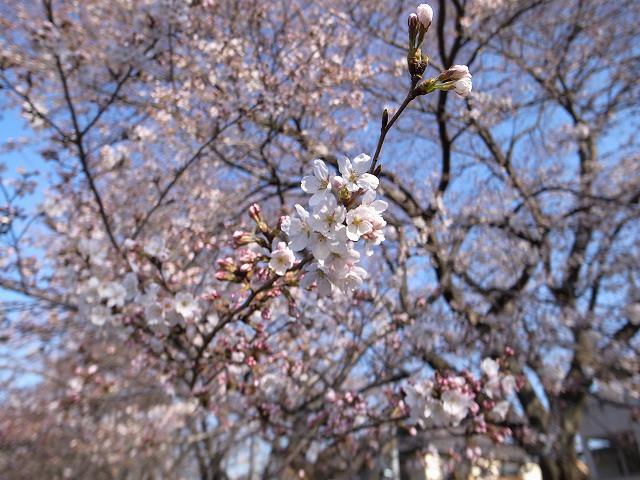 <p>d)これぞ桜色</p>