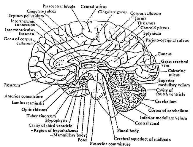 P35 Labeled Brain
