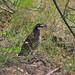 Northern Bobwhite, Colinus virginianus