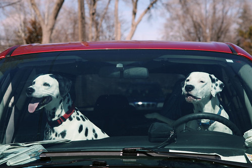 two dogs - dalmatians - driving a red car