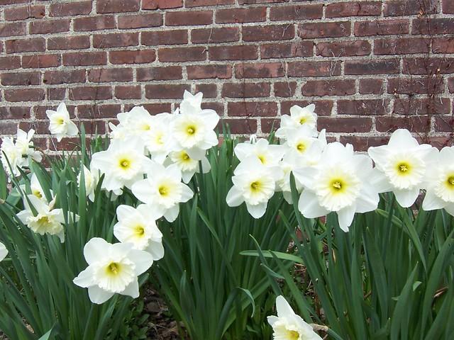 line of daffodils
