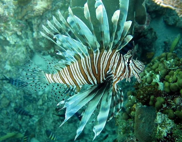 Lionfish invasive species