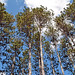 Small photo of Red Pines, Rhinelander School Forest