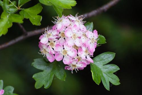 Pink hawthorn flowers